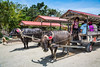 Tourists recieve rides on water buffalo carts in the village street on Taketomi Island, Okinawa Prefecture, Japan.