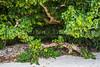 Subtropical vegetation on Taketomi Island, Okinawa Prefecture, Japan.
