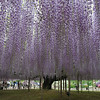 wisteria flower,Ashikaga,Tochigi,Japan<br /> <br /> Guess how old is this flower tree?? hundred years old..It's very beautiful in the garden.