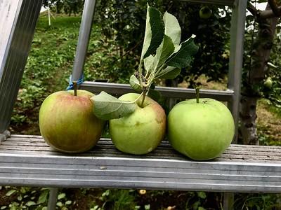 Apple picking at りんご公園
