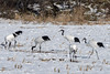 Flock of red crowned cranes grazing in field of corn stubble, Tsurui Village, Hokkaido, Japan
