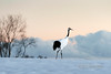 Sunset with red crowned crane