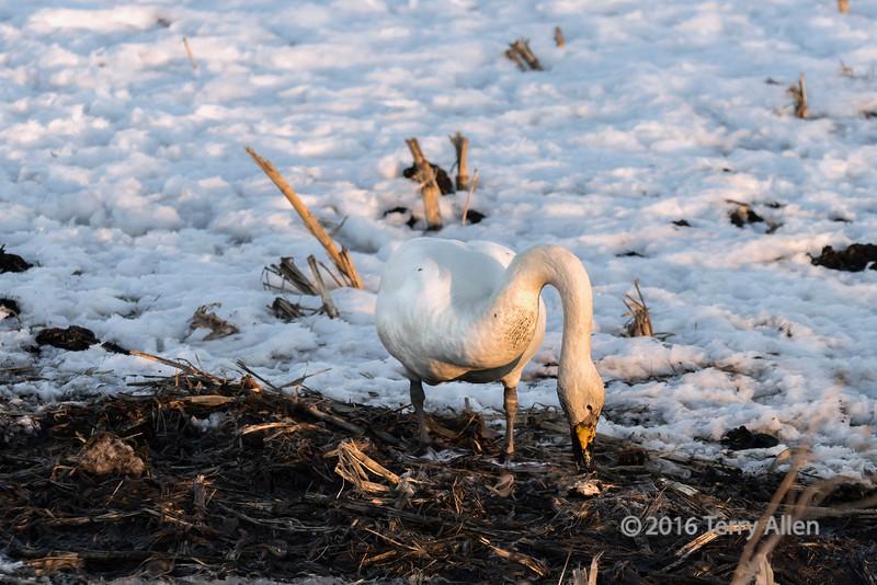 Sunset with whooper swan feeding in corn stubble, Tsurui Village, Hokkaido, Japan