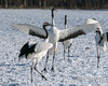 Red-crowned-cranes-mating-dance,-Tsurui-Village,-Hokkaido-Island,-Japan