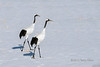 Pair of red crown cranes walking over a field of snow, Tsurui Village, Hokkaido, Japan