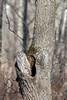 Ural owl standing in a tree cavity, Tsurui area, Hokkaido, Japan