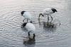 Family of cranes fishing at dawn, juvenile with small fish, Setsuri River, Hokkaido, Japan