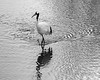 Crane with ripples and reflections