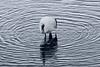 Red crowned crane fishing, ripples within ripples, Setsuri River, Hokkaido, Japan