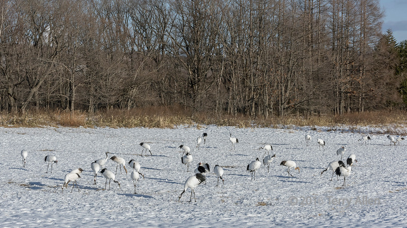 Flock of red-crowned cranes gazing and grooming at Tsurui Ito Tancho Crance Sanctuary, Hokkaido, Japan