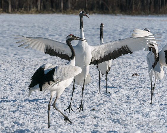 Red crowned crane mating dance