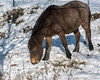 Horse eating dried grass from under a layer of fresh snow, near Tsurui Village, Hokkaido, Japan