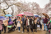 Cherry blossom trees and Japanese people in Ueno Onshi Park, Taito, Tokyo, Japan, Asia.