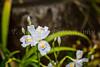 Decorative shredded iris flowers in Ueno Onshi Park, Taito, Tokyo, Japan, Asia.