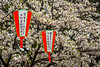 Cherry blossom trees in Ueno Onshi Park, Taito, Tokyo, Japan, Asia.