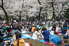 Cherry blossom trees and Japanese people having picnics in Ueno Onshi Park, Taito, Tokyo, Japan, Asia.