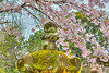 Cherry blossoms and Japanese lanterns in Ueno Onshi Park, Taito, Tokyo, Japan, Asia.