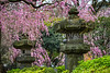 Cherry blossom trees and Japanese lanterns in Ueno Onshi Park, Taito, Tokyo, Japan, Asia.