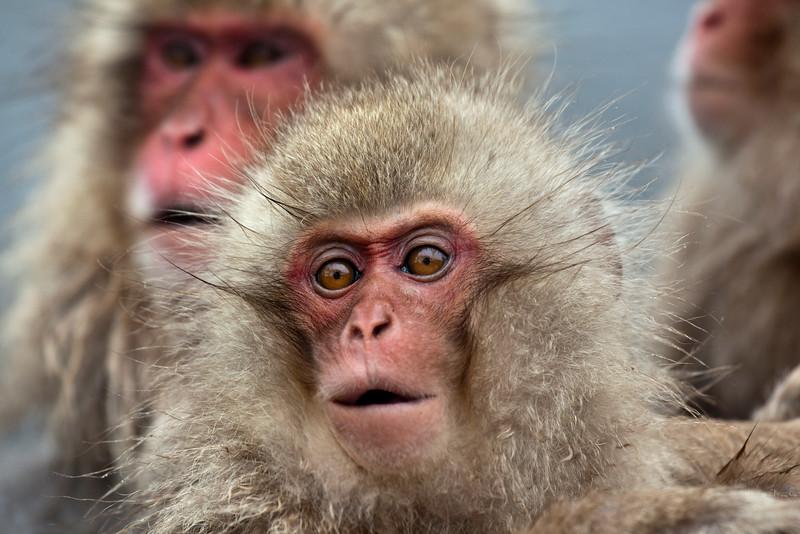 Juvenile snow monkey in hot spring