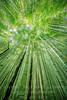Bamboo Trees - Copyright 2017 Steve Leimberg UnSeenImages Com _DSC3243