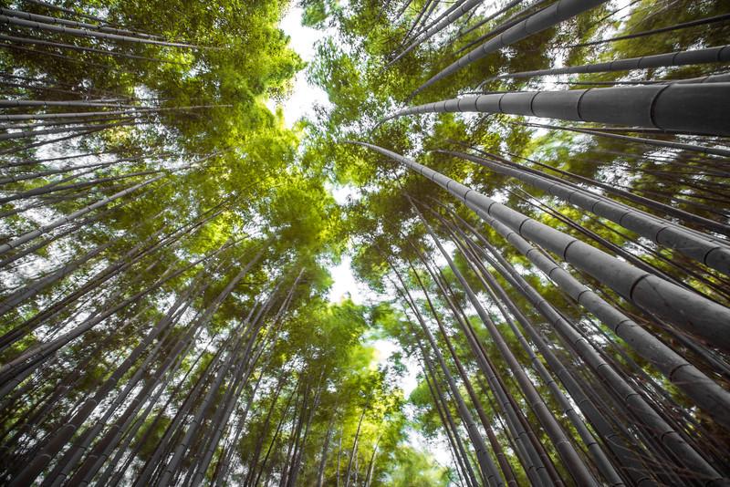 Bamboo Grove • Kyoto