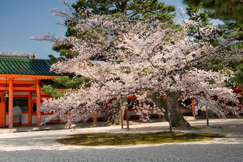 Flowering at the Heian Shrine (#0587)
