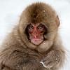 Juvenile snow monkey holding snow