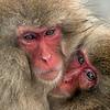 Juvenile snow monkey huddling close to its mother