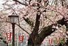 Ueno Park Sakura (#0591)