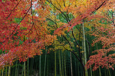Kyoto Maples and Bamboo
