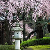 Almond Blossom; Tōrō; Stone Lantern; Zōjō-ji temple; Tokyo; Japan