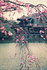 Japanese Blooms Over Water (#0300)