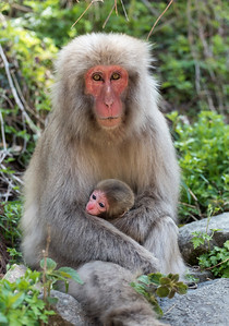 Macaque at Snow Monkey Park