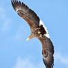 A soaring white tailed eagle