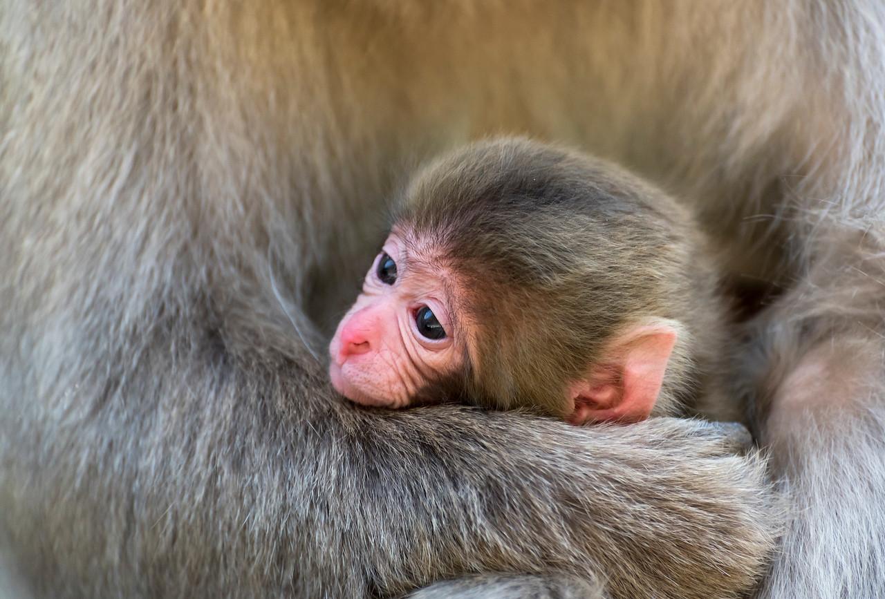 Baby Macaque, Snow Monkey Park