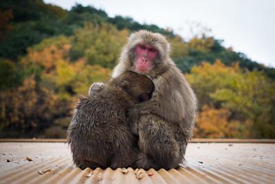 Arashiyama Macaques