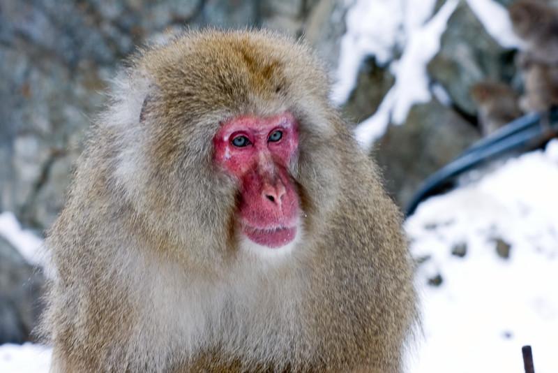 Wild Snow Monkey. Jigokudani Yaenkoen.