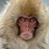 Juvenile snow monkey with a serious pose