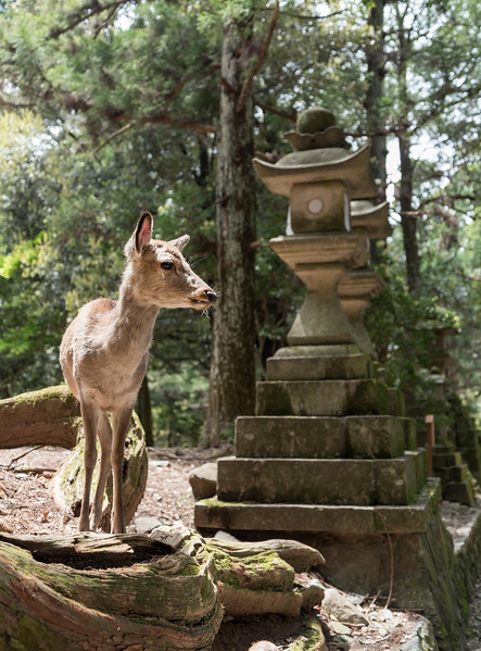 Deer and Lantern, Nara
