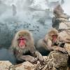 Snow monkeys basking in the hot springs