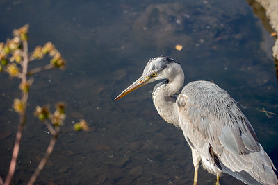 Grey Heron Standing in a Pond in a Japanese Garden