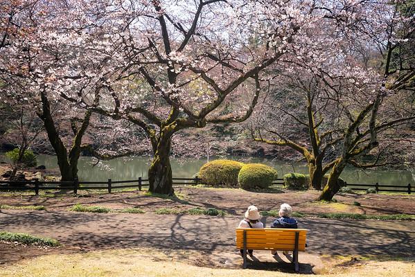 Cherry Blossoms in Shinjuku