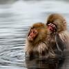 Juvenile snow monkey ready to grab other
