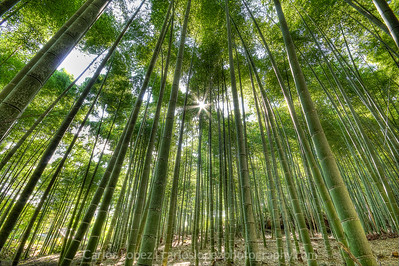 Bamboo grove near Moss Temple in Kyoto, Japan.