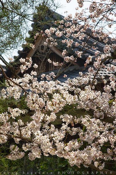 Blooming Japan (#0584)