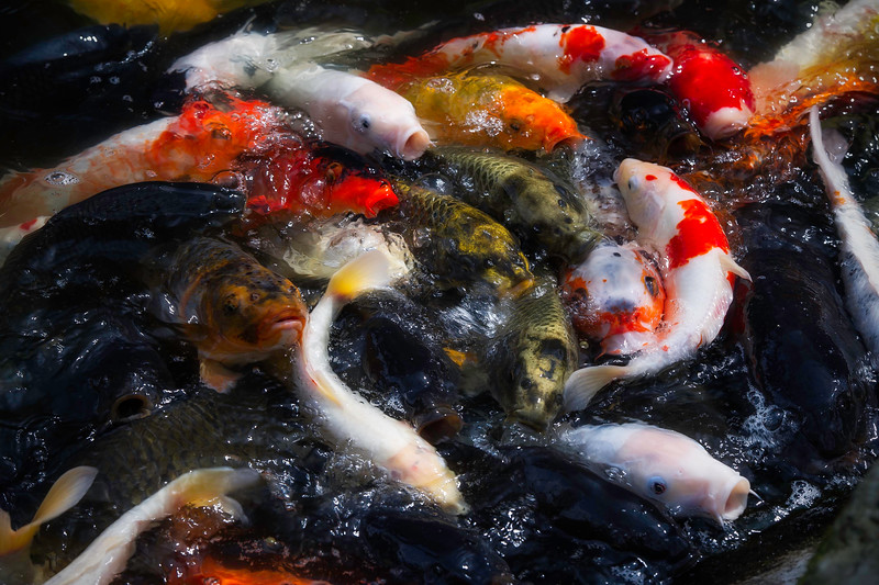 Koi Fish; Atago Jinja Shrine;Tokyo; Japan