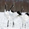 Three Japanese Red Crane Mating Ritual