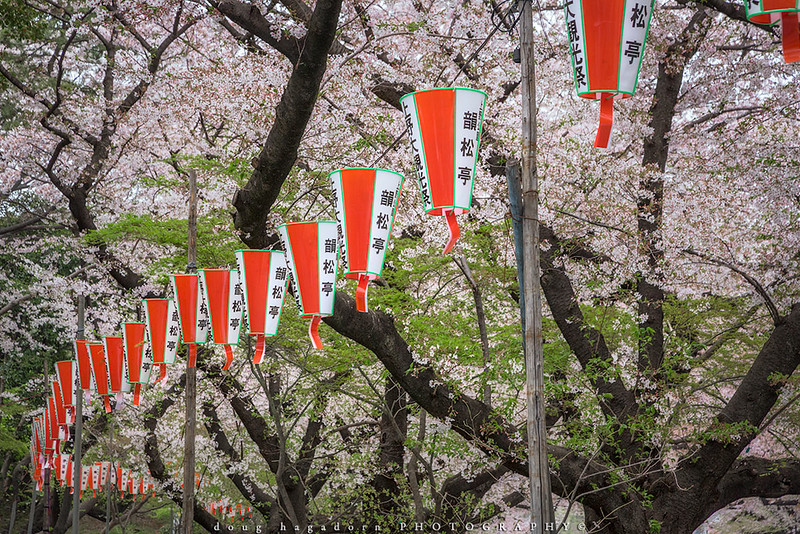 Tokyo Cherry Blossoms (#0695)