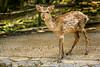 Nara Deer Copyright 2017 Steve Leimberg UnSeenImages Com _DSC2916
