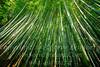 Bamboo - Copyright 2017 Steve Leimberg UnSeenImages Com _DSC3231